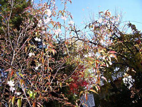 冬に咲くヒマラヤザクラ